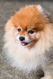 Pomeranian hund/Pomeranian/Pomeranian hundframsidaskott Arkivbild