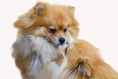 Pomeranian hund, slut upp isolering för pomeranian hund för stående liten på vit bakgrund, liten hund av en avel med långt silkes Royaltyfri Bild