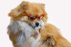 Pomeranian hund, slut upp isolering för pomeranian hund för stående liten på vit bakgrund, liten hund av en avel med långt silkes Arkivbilder