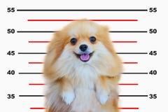 Pomeranian hund, slut upp isolering för pomeranian hund för stående liten på vit bakgrund, liten hund av en avel med långt silkes Arkivbild