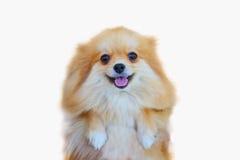 Pomeranian hund, slut upp isolering för pomeranian hund för stående liten på vit bakgrund, liten hund av en avel med långt silkes Fotografering för Bildbyråer