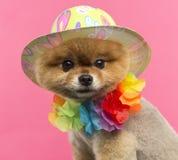 Pomeranian hund som bär en kulör hatt och hawaianska lei Arkivbild