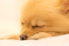 Pomeranian hund som har den söta drömmen, fokus på ögat, med kopieringsutrymme Arkivfoton
