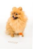 Pomeranian hund som isoleras på vit med den tomma behållaren och preventivpillerar Arkivfoton