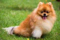 Pomeranian hund som kör int den utomhus- trädgården Arkivbild