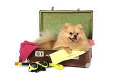Pomeranian hund som ligger i resväskan Royaltyfria Bilder
