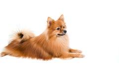 Pomeranian hund som stading på isolerat Royaltyfria Foton