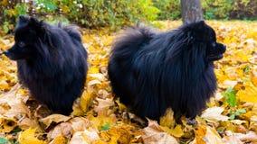 pomeranian hund spitzdjurvykort Arkivfoton