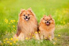 Pomeranian Hund zwei im Sommer Lizenzfreies Stockfoto
