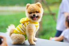 Pomeranian Hunde lizenzfreie stockbilder