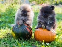 Pomeranian-Hunde und Kürbis, Halloween Stockfotos