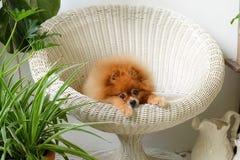 Pomeranian-Hundelächeln, spielendes äußeres Tierlächeln lizenzfreie stockfotografie