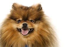 Pomeranian Hundeportrait. Lizenzfreies Stockfoto