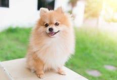 Pomeranian hundleende Royaltyfri Fotografi