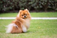 Pomeranian i den utomhus- trädgården Arkivfoton