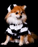 Pomeranian Jailbird Royalty Free Stock Photo