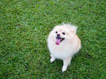Pomeranian on the lawn. royalty free stock images
