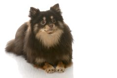 Pomeranian laying down Royalty Free Stock Photography