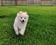 Pomeranian lindo Fotografía de archivo libre de regalías