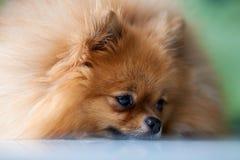 Pomeranian lindo mullido miente en una superficie blanca Fotos de archivo
