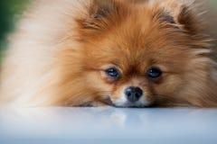 Pomeranian lindo mullido miente en una superficie blanca Fotos de archivo libres de regalías