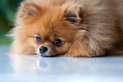 Pomeranian lindo mullido miente en una superficie blanca Imagen de archivo