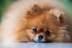 Pomeranian lindo mullido miente en una superficie blanca Fotografía de archivo libre de regalías
