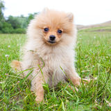 Pomeranian Royalty Free Stock Photo