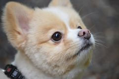 Pomeranian. Looking up at his owner Stock Images