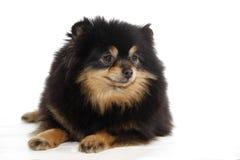 Pomeranian lulu lizenzfreies stockbild