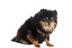 Pomeranian lulu stockbild