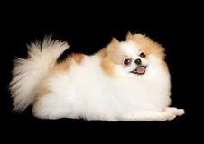 Pomeranian lulu lizenzfreie stockbilder