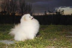 Pomeranian lulu stockfotografie