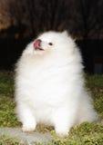 Pomeranian lulu lizenzfreie stockfotos