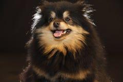 Pomeranian lulu stockfoto