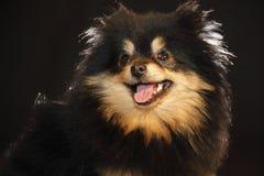 Pomeranian lulu stockbilder