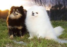 Pomeranian lulu stockfotos