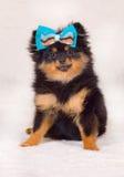 Pomeranian 6 maanden oud royalty-vrije stock afbeeldingen