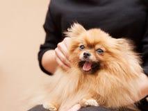 Pomeranian macio engraçado foto de stock