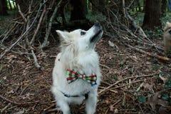 Pomeranian med flugan i tr?n royaltyfria bilder