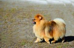 Pomeranian mignon Photos libres de droits