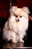Pomeranian miniatura Imagen de archivo