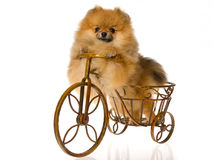 Pomeranian on miniature brown bike Stock Photos