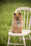 Pomeranian-Modell Dog Stockfotos