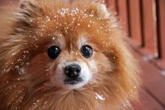Pomeranian na het Spelen in Sneeuw. Stock Foto