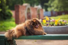 Pomeranian in nature, the dog in the park Royalty Free Stock Images