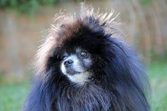 Pomeranian nero Immagine Stock Libera da Diritti