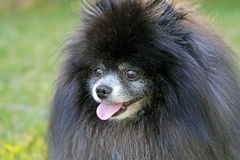 Pomeranian nero Immagini Stock