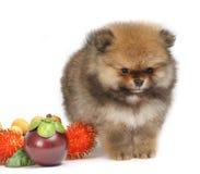 Pomeranian no fundo branco, cachorrinho, isolado Imagens de Stock