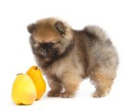 Pomeranian no fundo branco, cachorrinho, isolado Foto de Stock